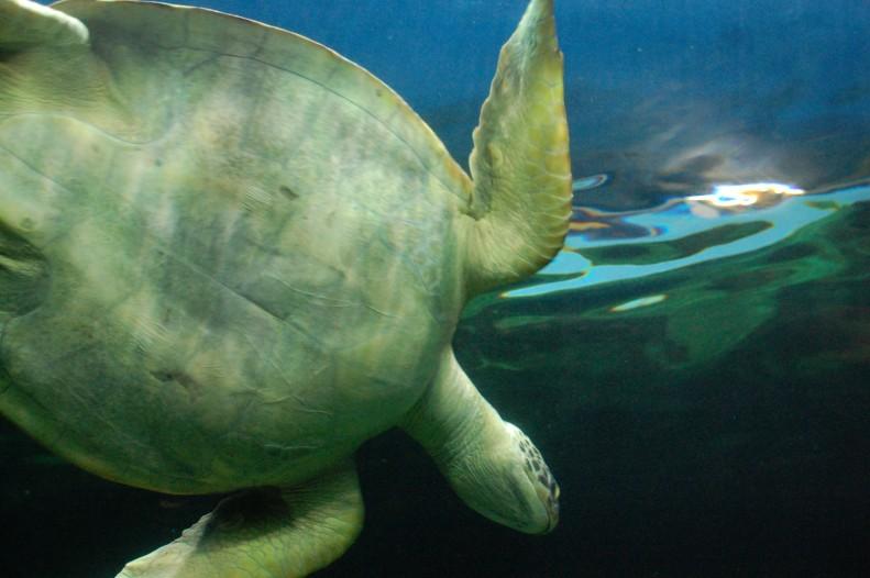turtle at Vancouver aquarium