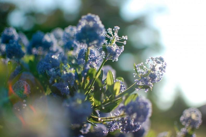 blue, flowers, light, bokeh
