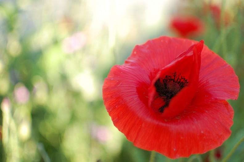 flowers, light, bokeh, poppies