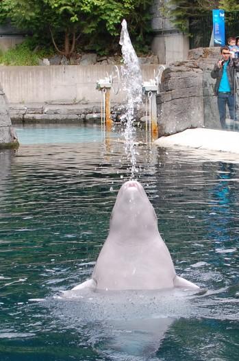 beluga whale at Vancouver Aquarium